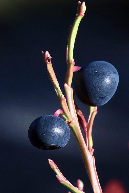 Mirtilo, o rei dos antioxidantes